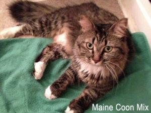 Found Maine Coon Cat mixed breed