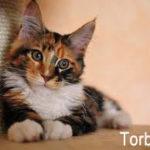 Torbie aka Tortoiseshell Tabby Cat with white socks and chest