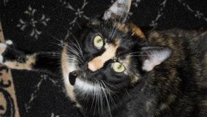 tortie Calico Cat